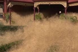 Hairy Panic, the Tumbleweed Attack in Australia